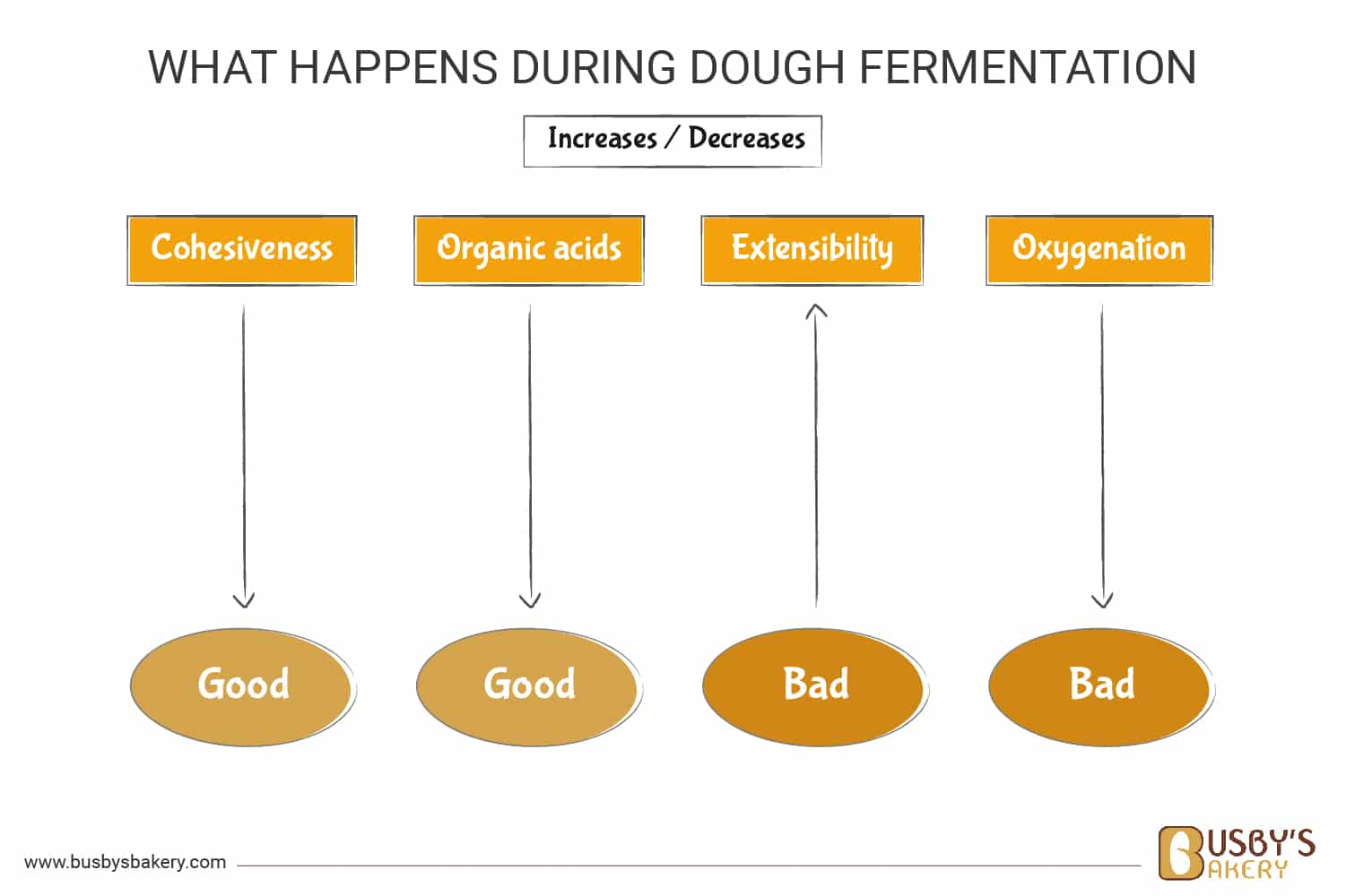 How the length of fermentation changes the properties in the bread diagram
